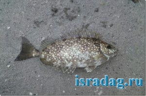 1. Фотография рыбы Арас (rabbitfish) на песчаном берегу