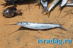 1. Фотография рыбы шпиц или полурыл (halfbeak)