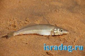 1. Фотография рыбы Телевизия (silver sillago). Автор: KaliMeen