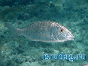 1. Фотография рыбы мармир - атлантический землерой - Lithognathus mormyrus