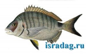 1. Рисунок рыбы Diplodus sargus - сарагус - морской карась