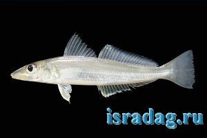2. Крупный план рыбы телевизия (silver sillago). Источник: FishBase