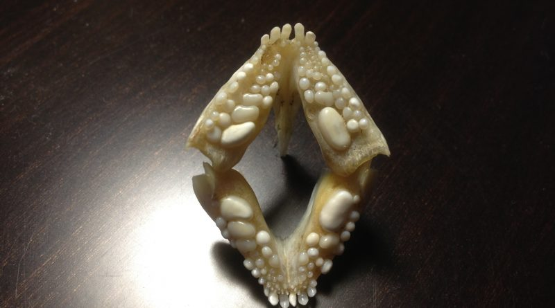 2. Зубы рыбы дорада (морской карась - аурата - спарус - дэнис) - открытая челюсть