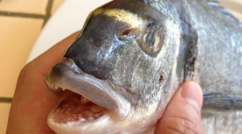 3. Челюсти рыбы дорада (морской карась - аурата - спарус - дэнис)