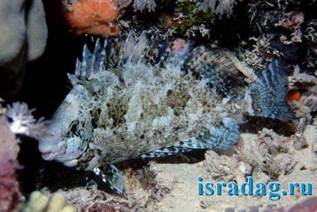 3. Фотография рыбы Арас (rabbitfish) в естественных условиях. Автор - John E. Randall