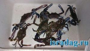 3. Голубые крабы пойманный на краболовку в Средиземном море Израиля. Ашдод. 20 октября 2018