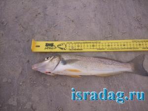 4. Фотография одного из самых крупных видов рыб Силаго - Sillago ciliata. Место - Australia. Автор - Daryl McPhee. Источник - fishbase.se