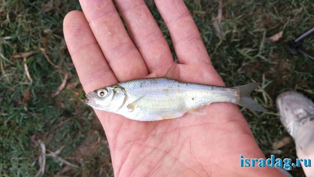 4. Сардинка - рыбка эндемик озера Кинерет и Иордана, пойманная в реке Иордан