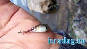Невиданный зверь пойманный в Израиле на пресном водоеме