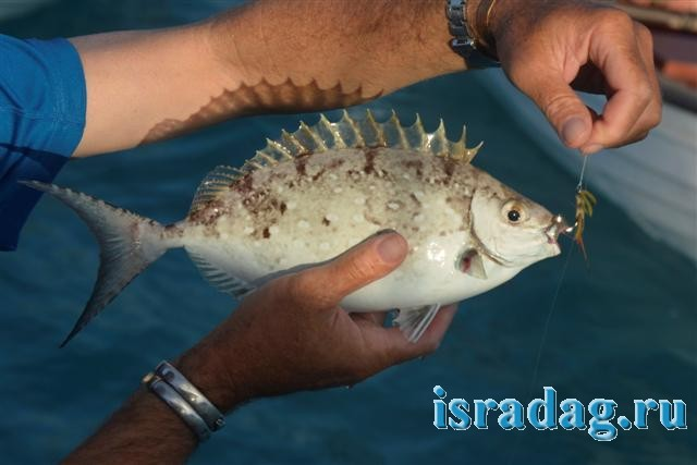 4. Рыба Араса (rabbitfish) пойманная на крючок