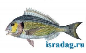 4. Рыба Sparus aurata (дорада) - изображение плавников