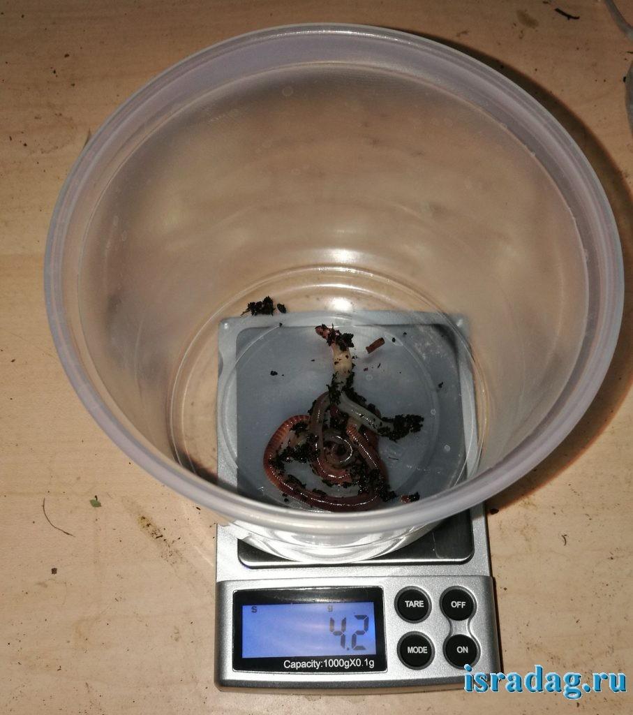 5 шт дендробены из 3-ей группы. Вес 4.2 гр после 2 месяцев жизни в Израиле
