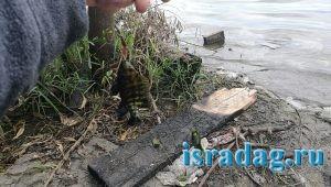 5. Мелкий мушт пойманный в Израиле на пресном водоеме в центре страны