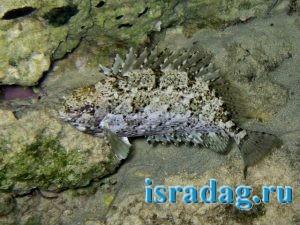 5. Рыба Арас (Коммунист) в естественной среде обитания
