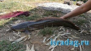 Иорданский сом пойманный на реке Иордан в Израиле на питу