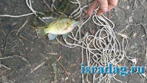 6. Рыба мушт. Пресный водоем в центре Израиля