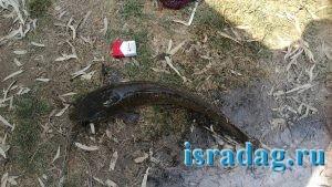 Иорданский сом пойманный на реке Иордан в Израиле на питу - 2