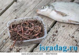 Фотография червя дендробена в процессе рыбалки