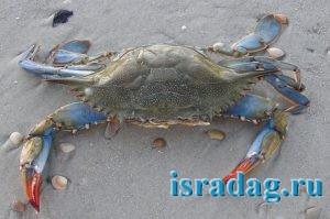 Фотография голубого краба к статье о том как его поймать в Средиземном море Израиля