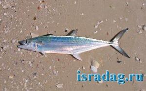 Фотография испанской макрели (паламида - spanish mackerel - Scomberomorus maculatus).jpg