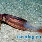 Фотография кальмара в естественной среде