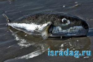 Фотография мертвой рыбы фугу - абунавха