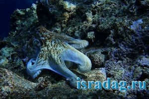 Фотография осьминога на фоне рифа - 200х300