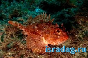 Фотография рыбы Скорпена