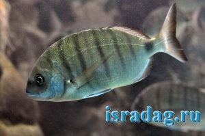 Фотография рыбы Средиземного моря - Diplodus sargus или Сарагус или Морской карась
