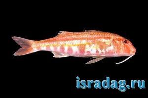Фотография рыбы барабулька