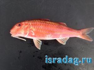 Фотография рыбы барабульки