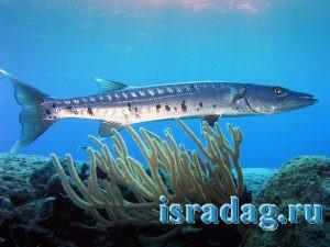 Фотография рыбы барракуда крупным планом