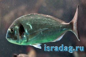 Фотография рыбы дорада (спарус аурата) в естественной среде обитания