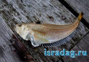 Фотография рыбы дракончика