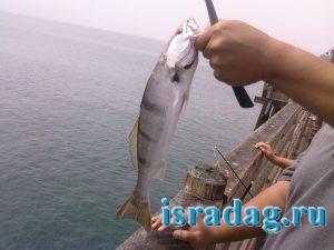 Фотография рыбы горбыль после поимки