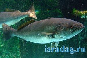 Фотография рыбы горбыль white-seabass