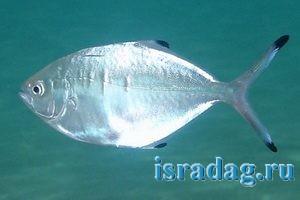 Фотография рыбы кхелен - помпано - trachinotus-ovatus