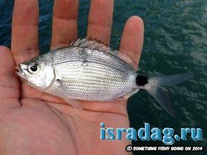 Фотография рыбы кхила