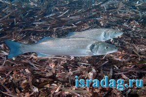 Фотография рыбы лаврак. Подводная съемка