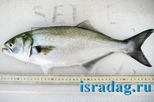 Фотография рыбы луфарь или гумбар -Pomatomus saltatrix - Bluefish