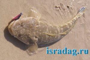 Фотография рыбы плоскоголов или flathead