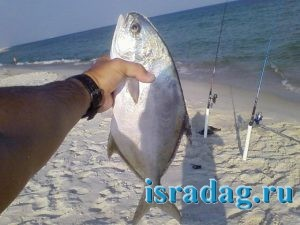 Фотография рыбы помпано после поимки