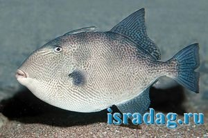 Фотография рыбы спинорог - Balistidae