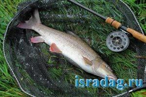 Фотография рыбы усач