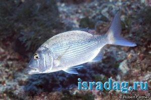 Фотография рыбы зубан или фарида
