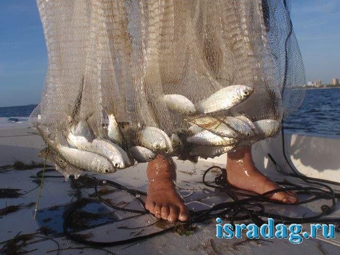 Фотография сардины в рыболовной сети