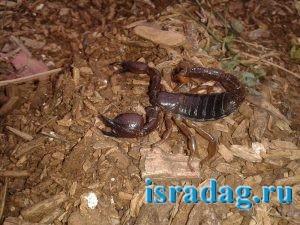 Фотография скорпиона, найденного в лесу Израиля