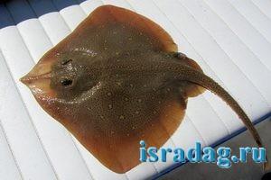 Фотография звездчатого ската (средиземноморского ската)