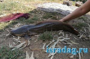 Иорданский сом пойманный мной на реке Иордан в Израиле на питу