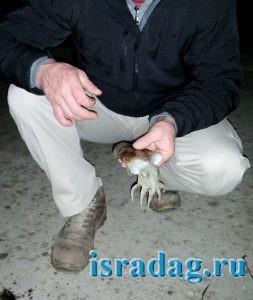 Маленькая каракатица пойманная в Ашдоде на Средиземном море